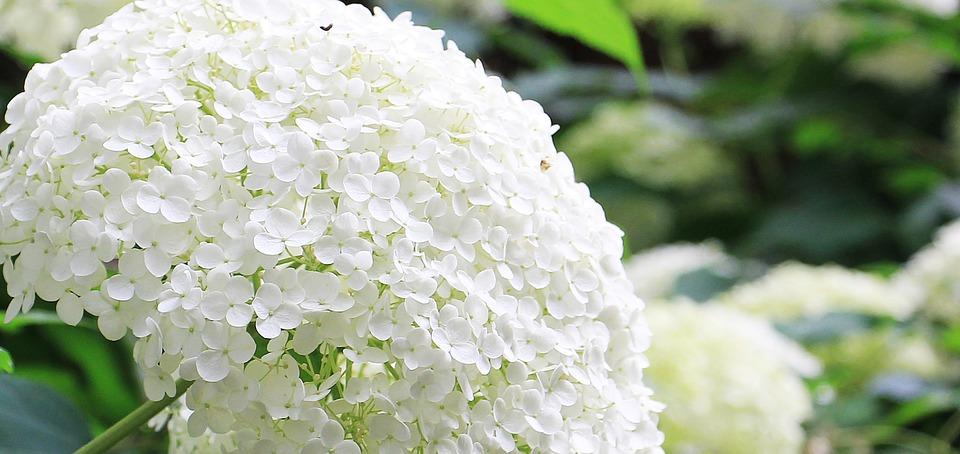 flowering hydrangea