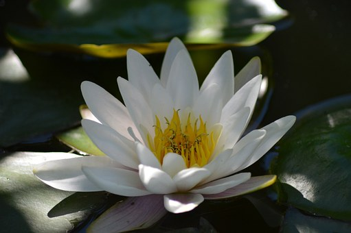 water lily plant